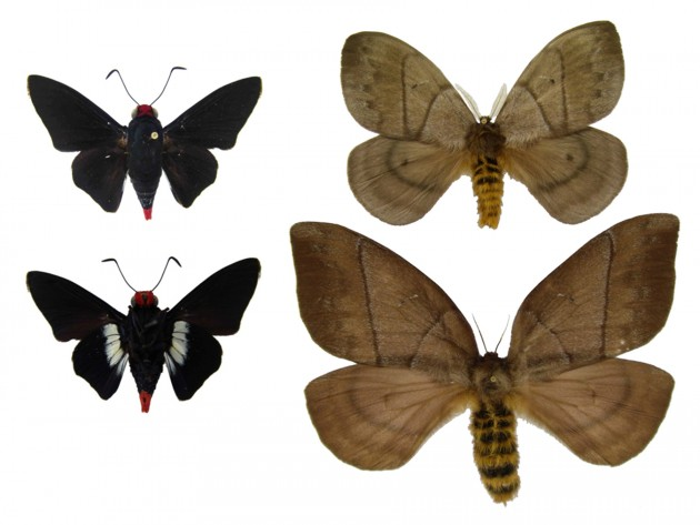 Adults of the skipper butterfly, Pyrrhopyge thericles (left), and of the moth Periphoba arcaei (right) rely respectively on speed and inconspicuous coloration to avoid predators. Their caterpillars use a combination of warning colors outside and toxins inside to defend themselves from attack. (Image courtesy Raudsepp-Hearne, et al. / Smithsonian Tropical Research Institute)