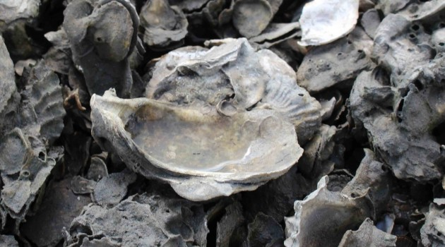 Florida Oyster Reef Communities