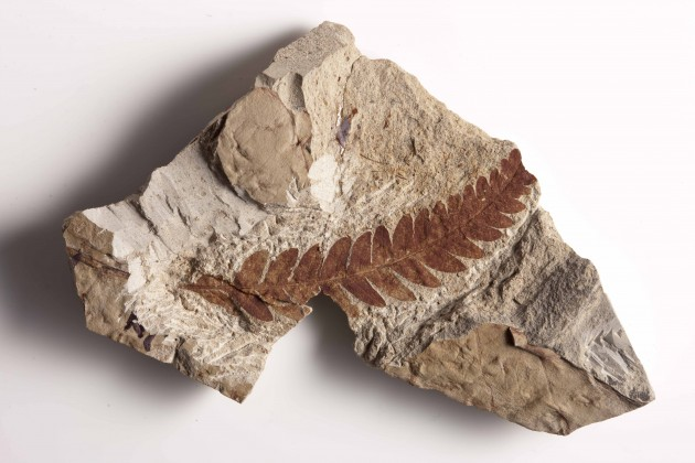 A Rhus-like leaf fossil from the PETM related to the sumac. The 55.8 million year old leaf fossil is from the collection of Scott Wing at The Smithsonian Institute in Washington, D.C.