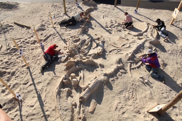 A Smithsonian paleontology team studies three overlapping fossil whale skeletons in Cerro Ballena, Chile in 2011.