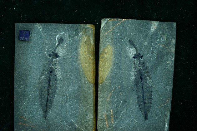 Opabinia regalis, an example of a well-preserved arthropod from the Burgess Shale in Canada. (Photo by Mark Eklund)