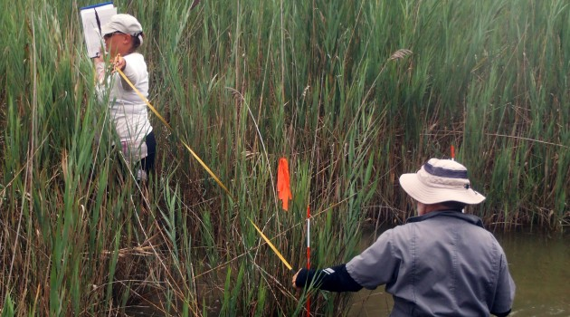 SERC ecologists wade through patches of phragmites as they examine how the invasive plant might transform tidal marshes in the Chesapeake Bay. (SERC photo)