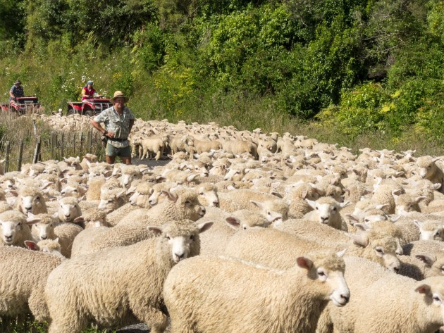 Sheep being herded in New Zealand. (Flickr photo by Russell Street)