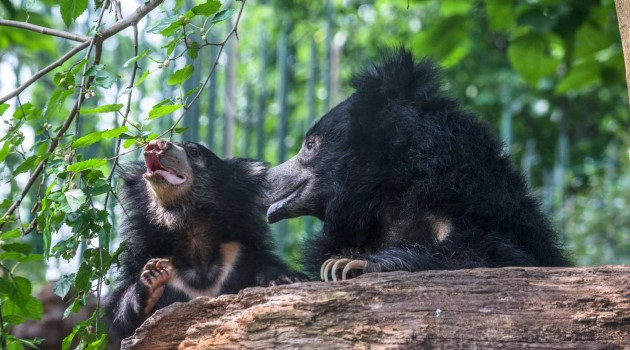 Measuring Sloth Bear Blood Pressure