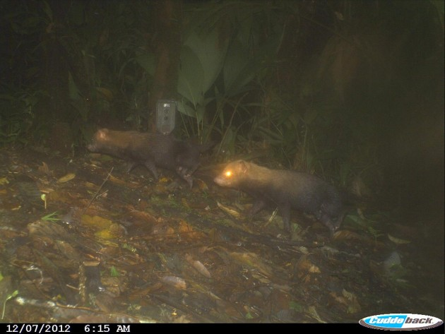 Bush dogs photographed in Donoso, Colón Province, Panama, Dec. 7, 2012. (Image provided by Ricardo Moreno, MWH Global, Inc., Minera Panama S.A.)