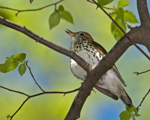 Wood thrush (Flickr photo by Bob Devlin)