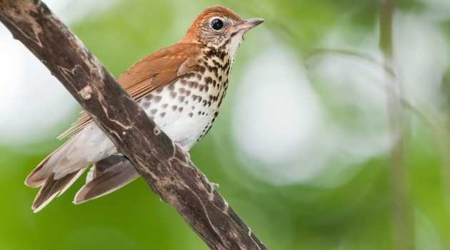 Wood thrush (Flickr photo by Kelly Colgan Azar)