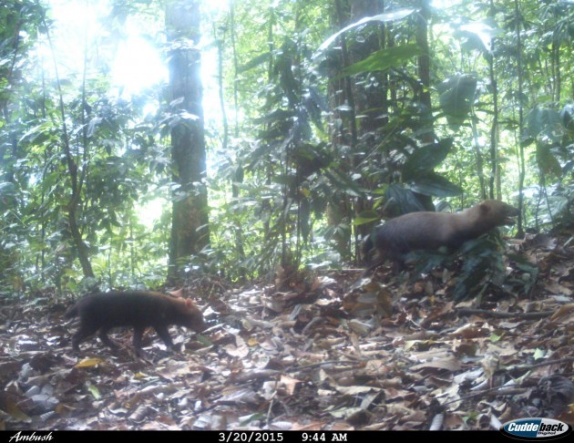 Camera trap photo of bush dogs in the wet tropical forests of Pirre, Darién Province, Panama, March 20, 2015 (Provided by Ricardo Moreno, GEMAS Panamá , Fundación Natura, Fondo Darién, Fundación Yaguará Panamá, Southern Illinois University)