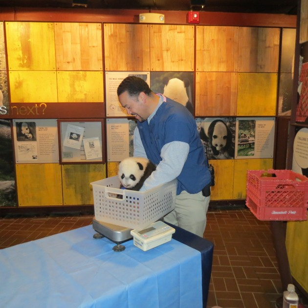 Juan Rodriguez weighs giant panda cub Bei Bei on Nov. 15, 2015. (Smithsonian's National Zoo photo)