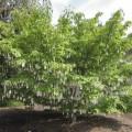 Wish Tree in garden
