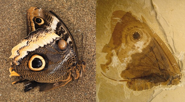 "A photo of the modern owl butterfly (""Caligo Memnon"") shown below a fossilized Kalligrammatid lacewing (""Oregramma illecebrosa"") shows some of the convergent features independently evolved by the two distantly-related insects, including wing eyespots and wing scales. (Butterfly photo by James DiLoreto/fossil photo by Conrad Labandeira and Jorge Santiago-Blay)"