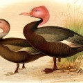 Male and female pink-headed Duck