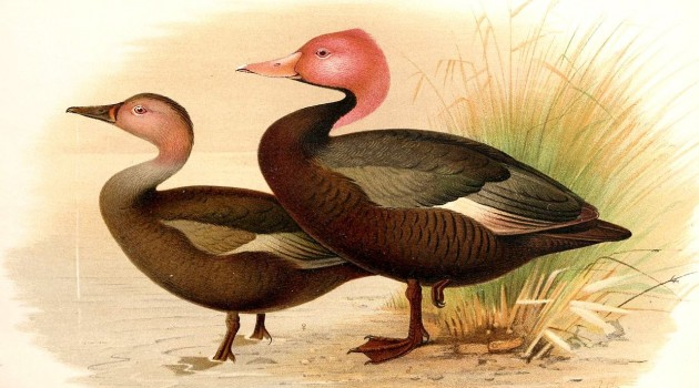"Male and female pink-headed Duck ""Rhodonessa caryophyllacea"" as illustrated by Henrik Grönvold from the Journal of the Bombay Natural History Society."