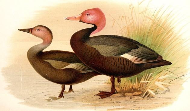 pink-headed ducks