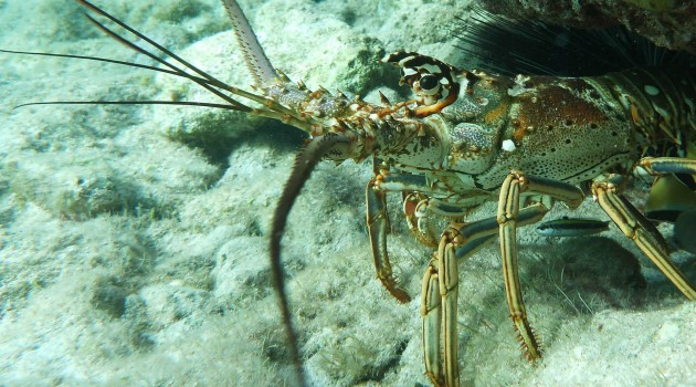 Caribbean spiny lobster (Flickr photo by Eric Littman)