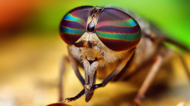 Blood-thirsty jungle horse-flies catch big chill from Smithsonian entomologist