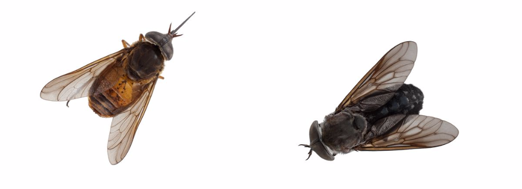 Blood-thirsty jungle horse-flies catch big chill from