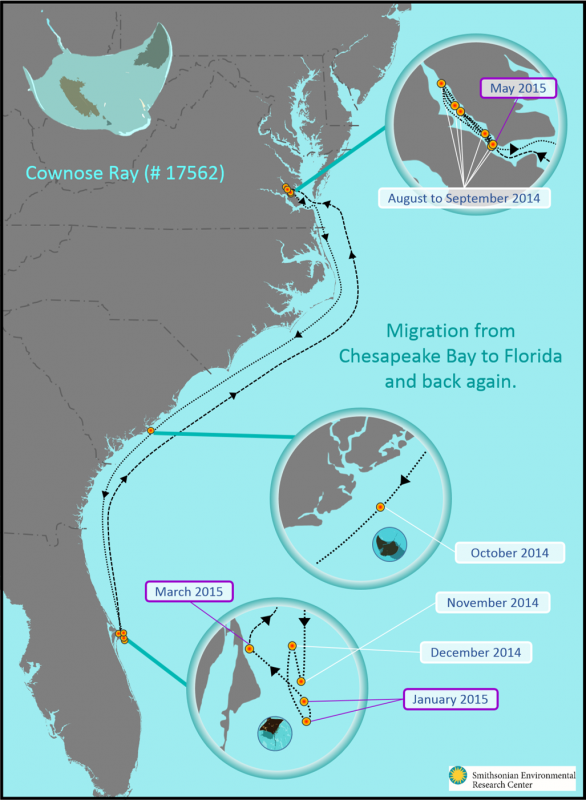 cownose ray migration map