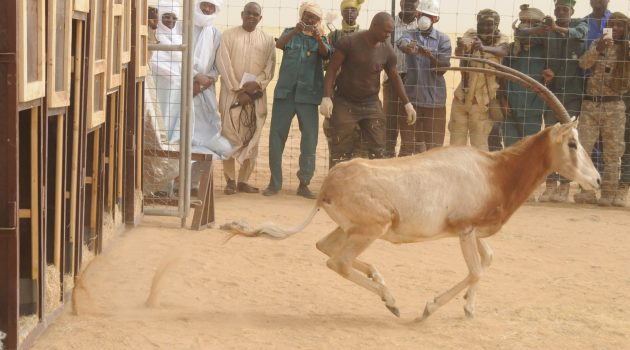 Scimitar-horned oryx being released into a large fenced area at the Ouadi Rimé-Ouadi Achim Game Reserve in Chad. The herd will be fully reintroduced to the wild during summer 2016. (Environment Agency—Abu Dhabi photo)