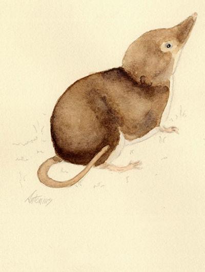 "Egyptian pygmy shrew (""Crocidura religiosa"")"
