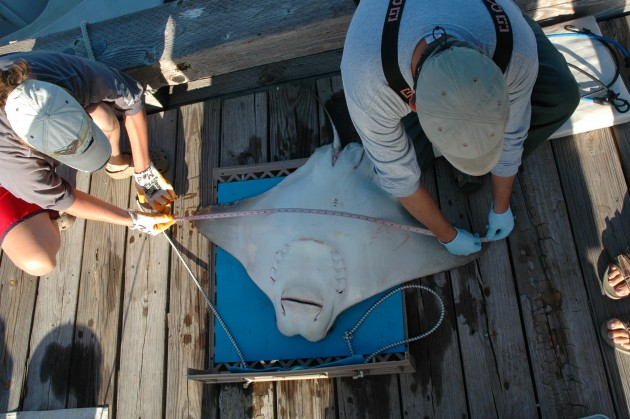 implant surgery cownose ray