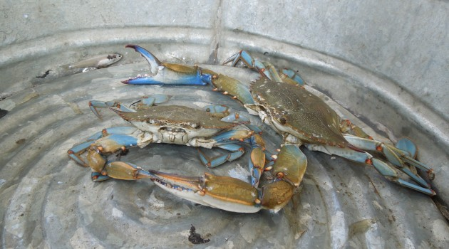 Smithsonian Expert Urges Caution, Patience on Blue Crab Recovery