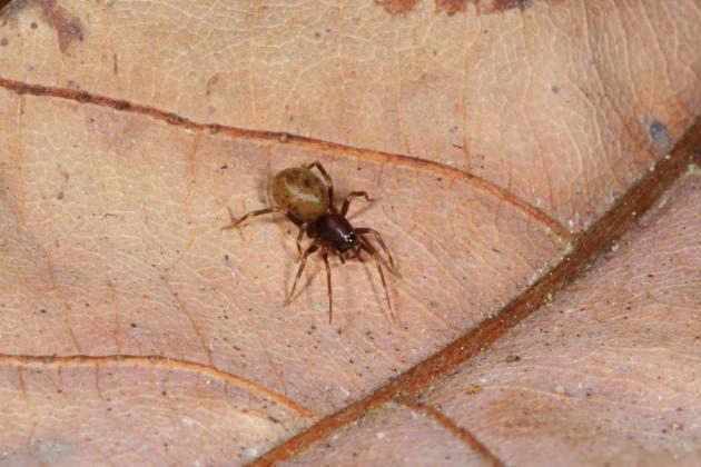 Mecysmauchenius spider new species, female.