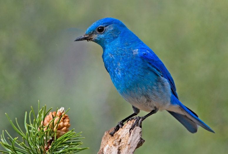 Blue bird - photo#46