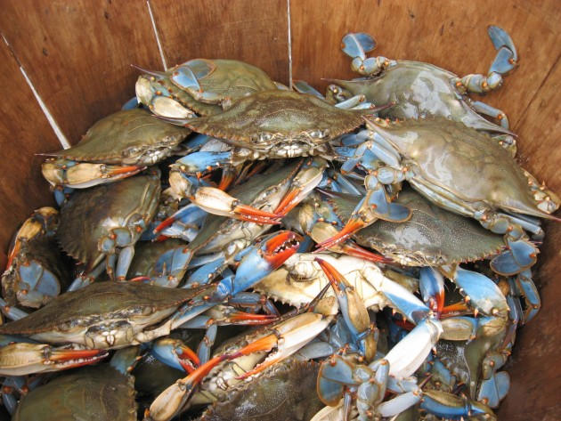Cheasapeake Bay blue crabs (Photos courtesy SERC)