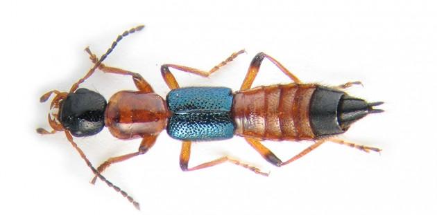 Paederius riparius