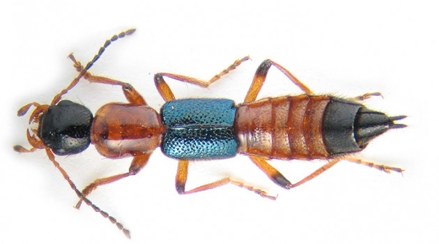 "Modern day rove beetle species ""Paederius riparius."" (Photo by K.V. Makarov)"
