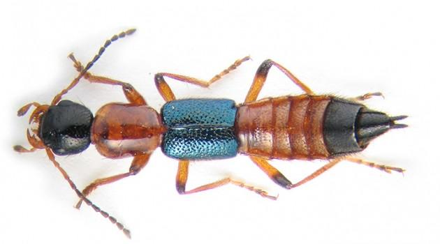 "Modern day rove beetle species ""Paederius riparius."" (Photo by K.V. Makarov)"