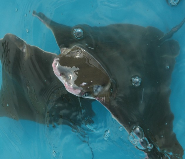 cownose ray pops out of a kiddie pool