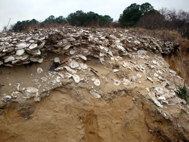 Native American oyster deposit