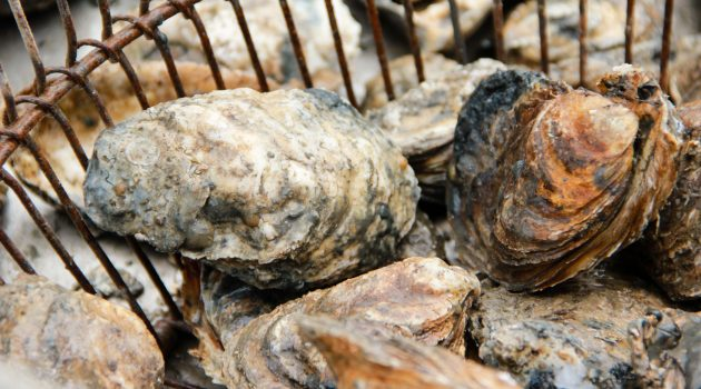 Chesapeake oysters in a bushel basket (Photo courtesy Chesapeake Bay Program)