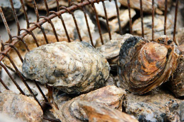 Oysters bushel basket