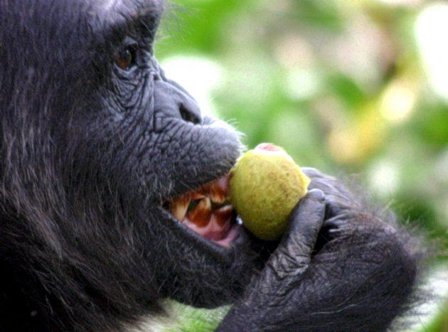 Chimpanzee bites a fig.