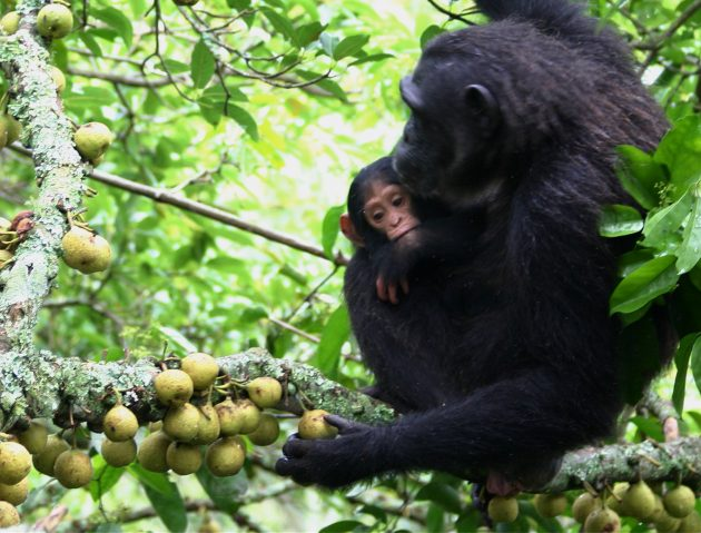 Chimpanzee in Kibale National Park, squeezes a fig