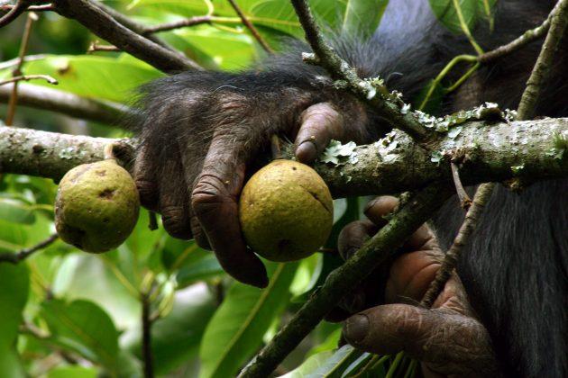 Chimpanzee in Kibale National Park, Uganda, squeezing a fig