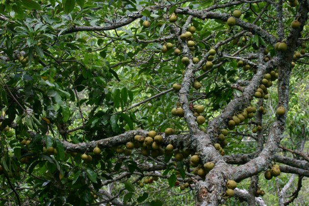 Figs growing in Kibale National Park