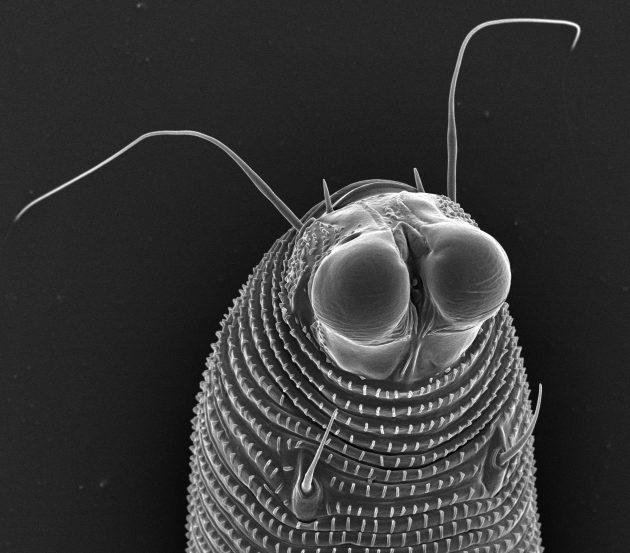 Novophytoptus Juncus