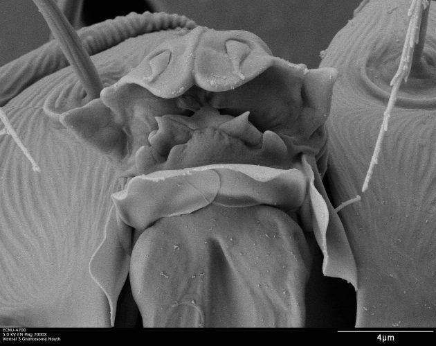 Oligonychus grypus Sugar Cane Plate B272_023
