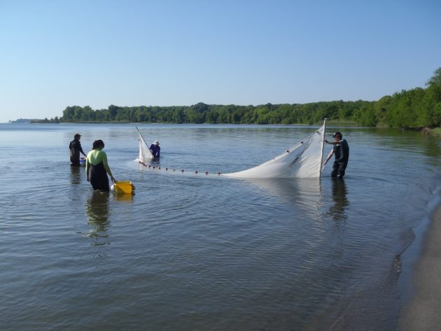 draging a net through the Rhode River