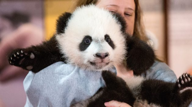 In this photo taken Dec. 14, 2015, animal keeper Nicole MacCorkle holds Bei Bei, the National Zoo's newest panda and offspring of Mei Xiang and Tian Tian, for members of the media at the National Zoo in Washington. The youngest giant panda cub at the National Zoo is ready for his close-up. Bei Bei will make his public debut on Jan. 16. During an audience with a small news media contingent Monday, he was so relaxed that he fell asleep and drooled on an examination table. At nearly 4 months old, Bei Bei weighs more than 17 pounds and is gaining about a pound a week. Heís bigger than his older siblings were at the same age.  (AP Photo/Andrew Harnik) ORG XMIT: DCAH506