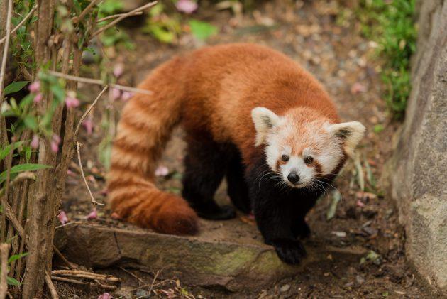 Female red panda Asa