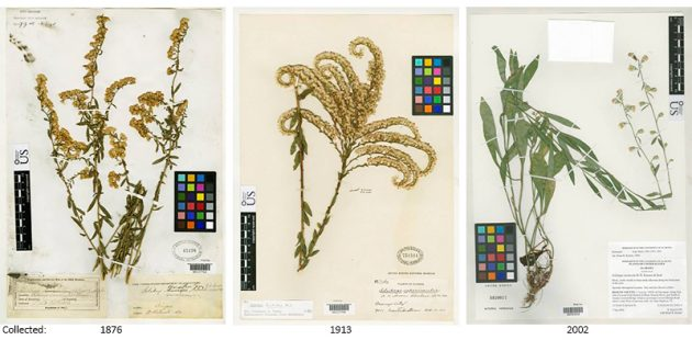 goldenrod specimens