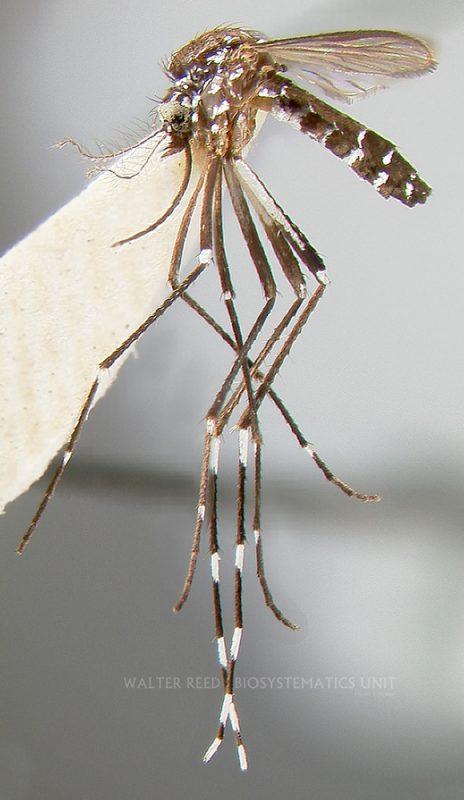 """""""A. albopictusare"""""""