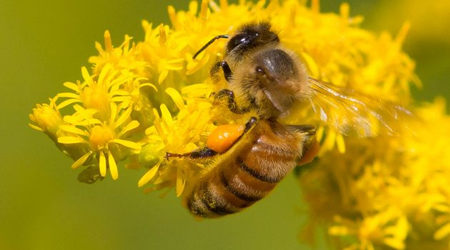 A honeybee getting nectar and pollen from goldenrod in southern Michigan. (Flickr image by Steve Burt)