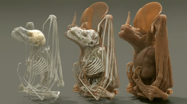 Using a 3D digital scan of bat specimens from Smithsonian collections, Müller is better able to understand how the animals' physiology influences their biological capabilities.
