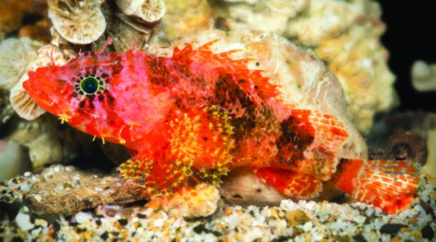"Live specimen of the new scorpionfish ""Scorpaenodes barrybrowni."" (Image by Barry Brown)"